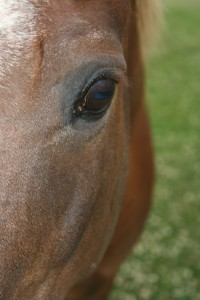 A close up picture of a horse's left eye.